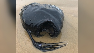The anglerfish washed ashore at the Crystal Cove State Park. (Crystal Cove State Park/CNN)