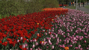 People enjoy the tulips in full bloom at Commissioner's Park next to Dow's Lake in Ottawa on Wednesday, May 12, 2021. (Jim O'Grady/CTV News Ottawa)
