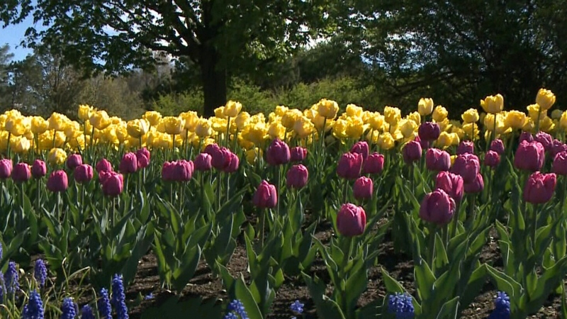 Virtual Visit to the tulips