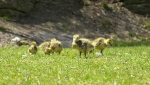 Goslings eating grass after being rescued by Parks Canada from Rideau Canal Locks. (Dave Charbonneau/CTV News Ottawa)