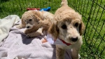 A Dog Guide puppy (Jessica Smith / CTV News Kitchener)