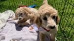 A Dog Guide puppy (Jessica Smith / CTV News Kitchener)