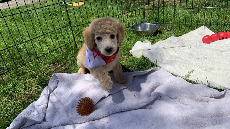 A foster Dog Guide puppy (Jessica Smith / CTV News Kitchener)