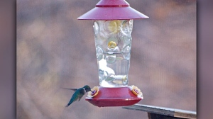 Welcome back Hummers. Photo by Jeannette Greaves.