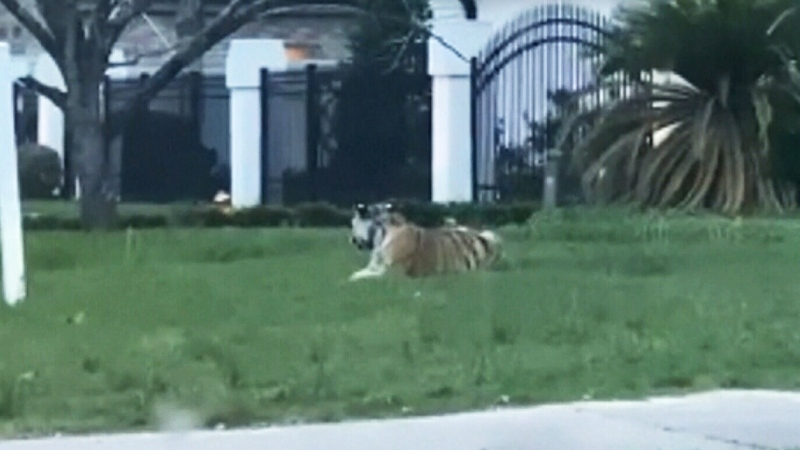 Search for missing tiger in Texas neighbourhood