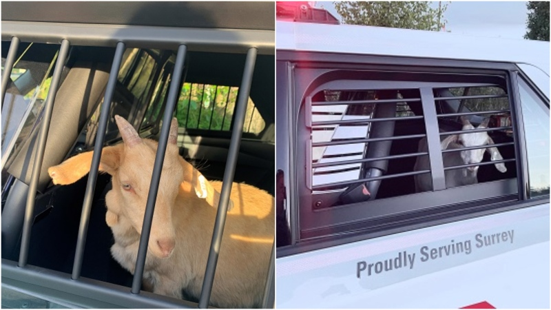 Goats are seen 'in police custody' in photos provided by the Surrey RCMP.