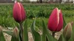 Green Corners: Ottawa's u-pick tulip farm