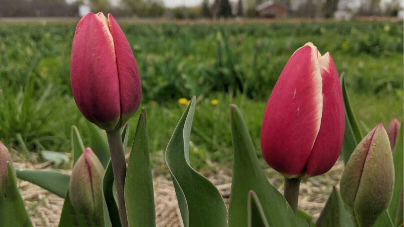Green Corners: Ottawa's u-pick tulip farm