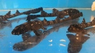 Scientists were able to use artificial insemination to bring 97 baby whitespotted bamboo sharks to life, according to a new study. (Courtesy Jay Harvey, Aquarium of the Pacific via CNN)