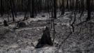 Burned out trees are shown in Waterton Lakes, Alta., Wednesday, Sept. 20, 2017. The townsite, which is inside Waterton National Park, was evacuated on Sept. 8, 2017 due to the Kenow wildfire. (THE CANADIAN PRESS/Jeff McIntosh)