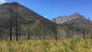 Trees damaged in the 2017 Kenow wildfire appear in this summer of 2020 photograph captured near the Crandell Lake Campground in Waterton Lakes National Park.