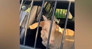 Runaway goats 'taken into police custody'