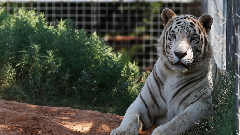 In this Wednesday, Aug. 28, 2013, file photo, one of the tigers living at the Greater Wynnewood Exotic Animal Park is pictured at the park in Wynnewood, Okla. (AP Photo/Sue Ogrocki, File)