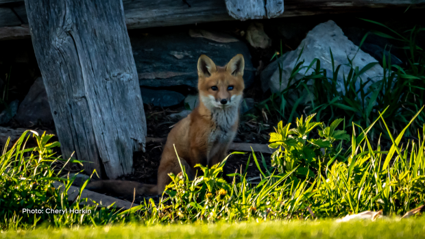 Fox kit outside of Chesterville, Ont. (Cheryl Harkin/CTV Viewer)