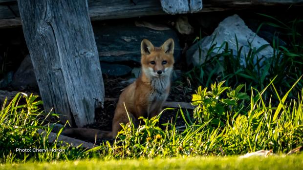 Fox kit outside of Chesterville, Ont. (Cheryl Harkin/CTV Viewer)