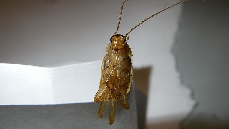 German cockroach infestations in Montreal have become more common during the coronavirus pandemic according to one expert. (File photo: Pexels)