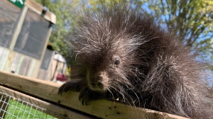 An orphaned baby porcupine named Patty is being cared for by Wildlife Haven Waterloo. (Jessica Smith/CTV Kitchener)