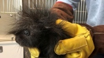 An orphaned baby porcupine named Patty is being cared for by Wildlife Haven Waterloo. (Supplied by the Guelph Humane Society)