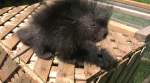Meet a porcupine rescued in Guelph