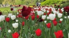The Canadian Tulip Festival kicks off it's season and for the second year, events will be hosted online as residents are asked to avoid seeing them in person unless they live in the area. (Tyler Fleming/CTV News Ottawa)