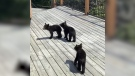 Three bear cubs were seen wandering around cottages near Kenora after their mother was killed. (Source: Cate Chant)