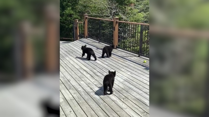 Orphaned bear cubs found wandering near Kenora