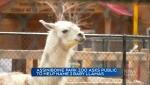 Assiniboine Park Zoo wants help naming new Llamas