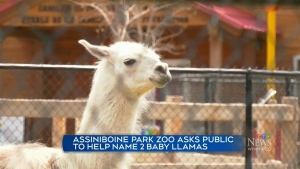 Assiniboine Park Zoo wants help naming new Llamas