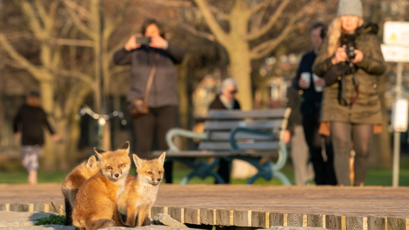 Fox pups sit in the early morning sun as walkers stop to take photos by the boardwalk on Lake Ontario in Toronto on Monday April 19, 2021.THE CANADIAN PRESS/Frank Gunn
