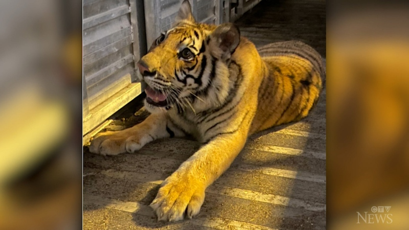 Missing Texas tiger located