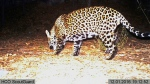 This Dec. 1, 2016 file image from video provided by Fort Huachuca shows a wild jaguar in southern Arizona. (Fort Huachuca via AP, File)