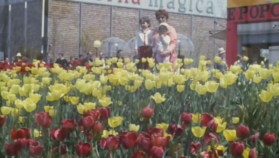 Tulips tell Montreal's tale