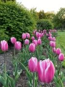 Spring flowers in Windsor (Courtesy: Lira Sykja Okaj)