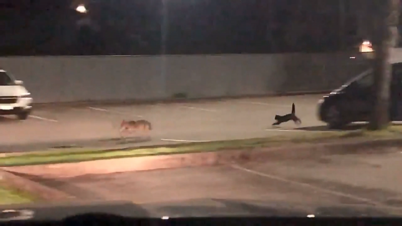 Coyote vs. cat