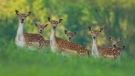 Fallow deer are pictured: (iStock)