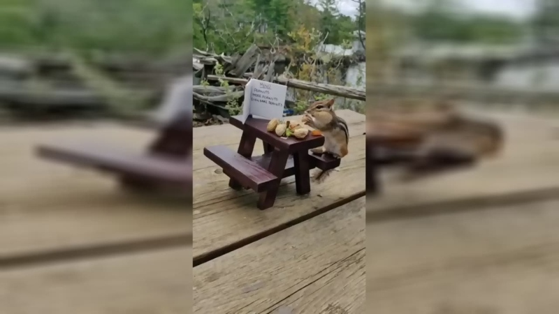 Chipmunk eats nuts at a tiny picnic table