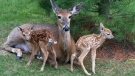 Deer at the River Bend Golf Community in London, Ont. (Source: Susan Knox)
