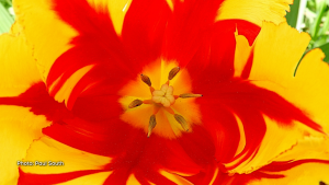 Inside a beautiful tulip. (Paul South/CTV Viewer)