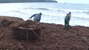 Vancouver Island is hosting its its first ever Seaweed Days event: (CTV News)
