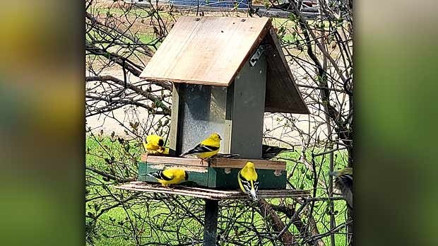 Goldfinches have returned to Deerwood. Photo by Joan McDowell.