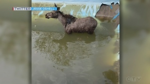 First responders in the Sudbury, Ont. area came to the rescue of a young moose trapped in a swimming pool on a warm day. May 17/21 (Jesse Oshell)