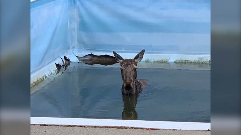 Young female moose stuck in Garson, Ont. pool had to be rescued. May 17/21 (Jesse Oshell)