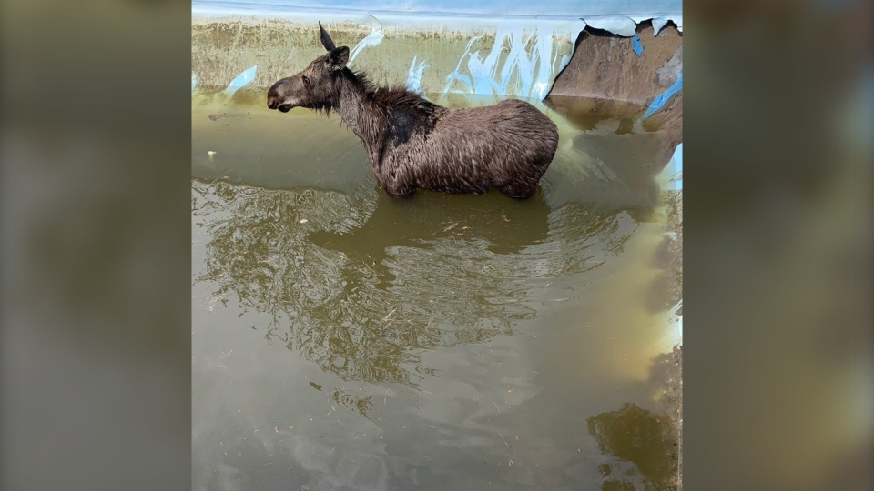 A young female moose got trapped in a half-filled