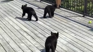 Orphaned bear cubs found in Ontario