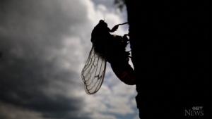 Brood X cicadas start to emerge in the U.S.