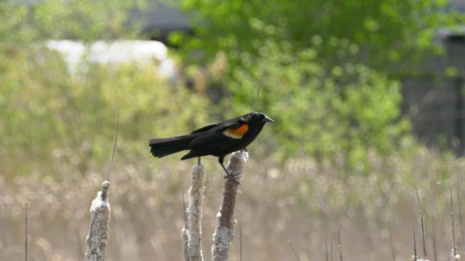Pete the red-winged blackbird. (Dave Charbonneau / CTV News Ottawa)