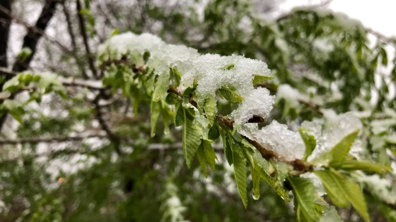The Edmonton area was treated to some mid-May snowfall Tuesday evening. (CTV News Edmonton/Sean Amato)
