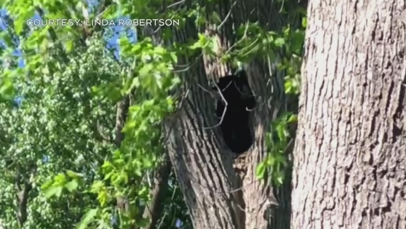 Bear caught in Dorval euthanized