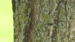 Gypsy moth infestations are popping up throughout southwestern Ontario. (Heather Senoran/CTV Kitchener)