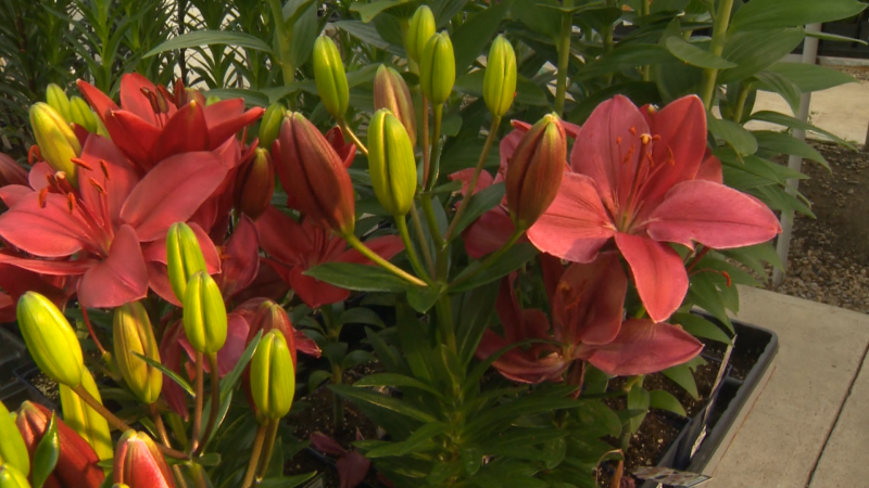 Tips on adding lilies and other perennial plants to your outdoor garden from the experts at Golden Acre home and Garden